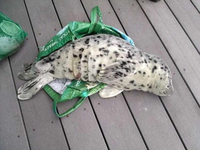 Bebê foca morre após ser levado para casa em sacola por banhista nos Estados Unidos