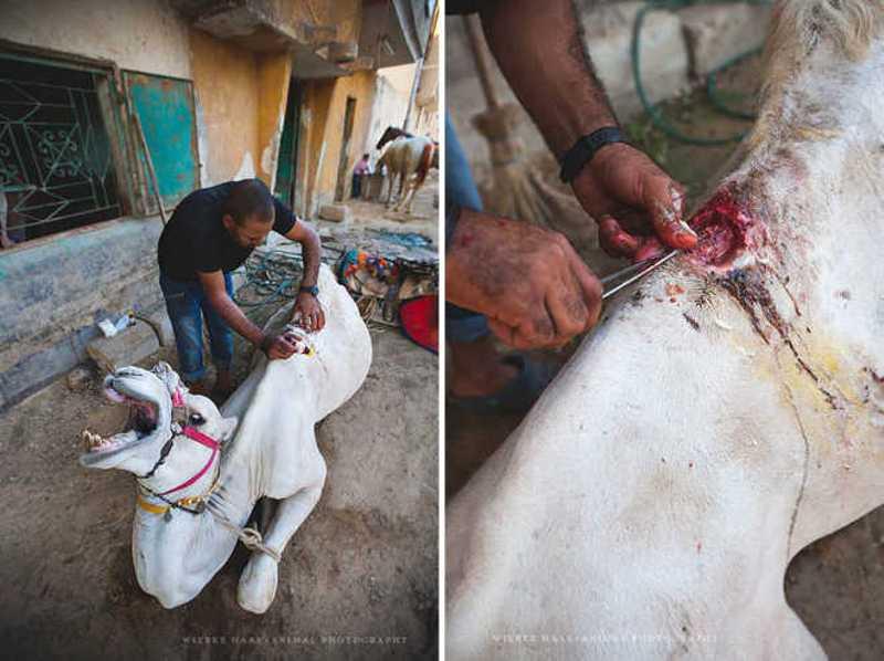 Esta é a realidade assustadora de cavalos e camelos que levam turistas para passear