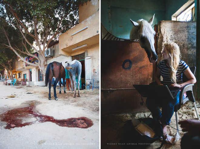 Egito realidade cavalos camelos turistas3