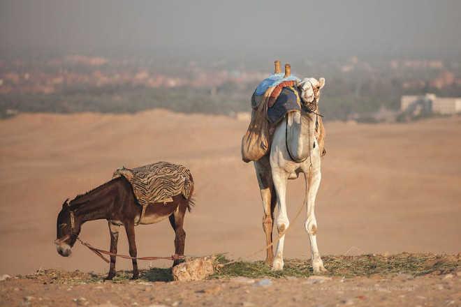 Egito realidade cavalos camelos turistas4