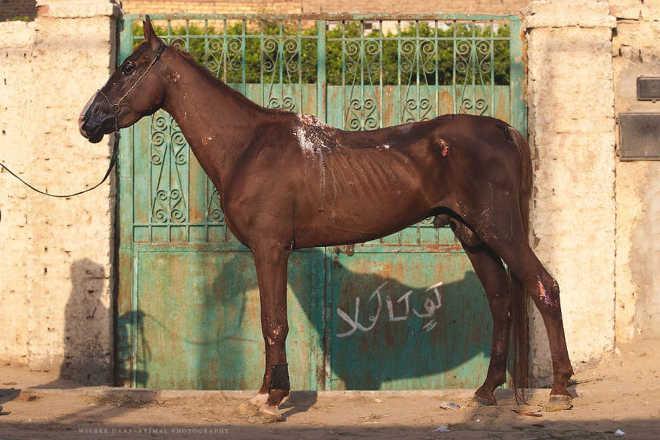 Egito realidade cavalos camelos turistas5