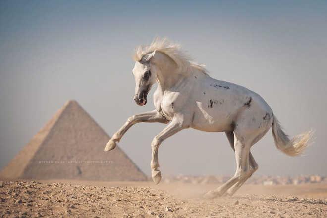 Egito realidade cavalos camelos turistas8