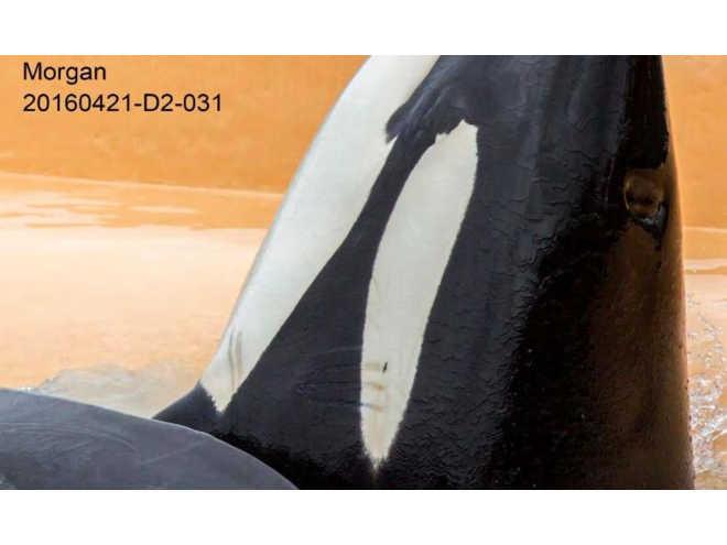 As orcas do SeaWorld estão cobertas de marcas de mordida por perseguição