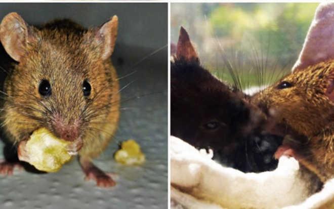 Esses ratinhos viviam em um laboratório. Agora eles levam uma vida de luxo graças a seus resgatistas