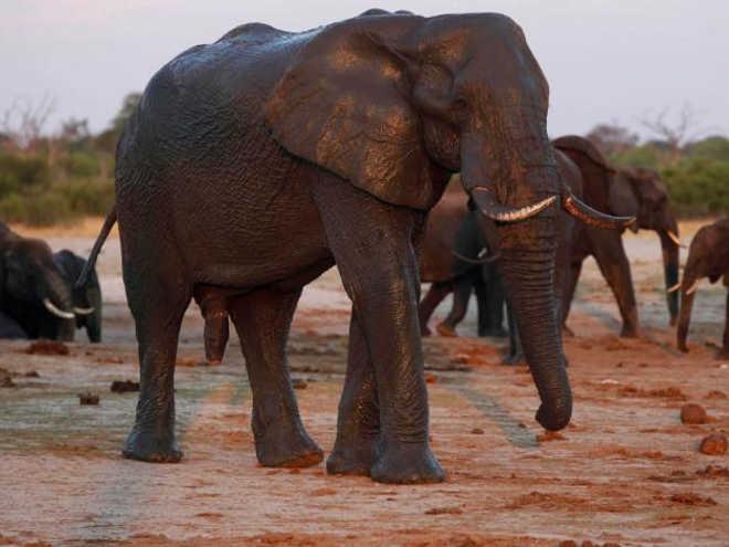 Europa opõe-se à proibição total do comércio de marfim