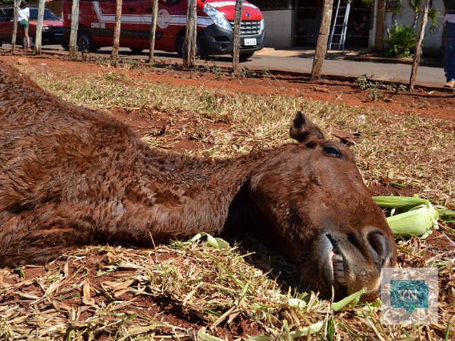 Morre cavalo vítima de maus-tratos em Rialma, GO