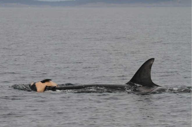Estudo: baleias e golfinhos lamentam a morte de seus parentes, como nós