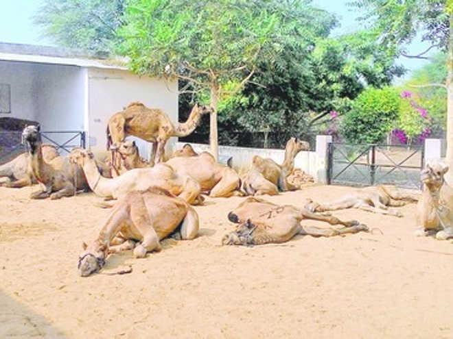 Ativistas resgatam camelos maltratados que seriam abatidos para consumo na Índia