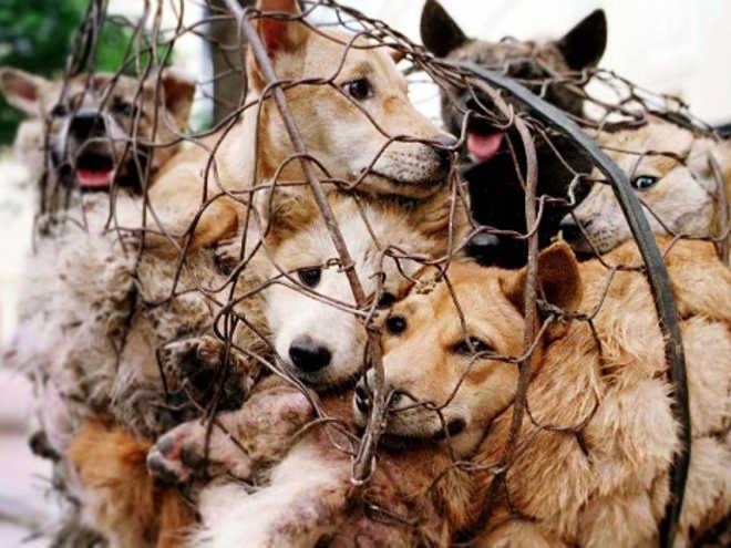 Investigação secreta expõe o horrível comércio de carne de cachorro ao estilo Yulin em Nagaland, na Índia