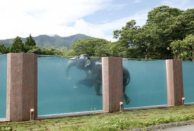 Zoológico japonês pensa que fazer elefantes nadarem em piscina transparente torna tudo melhor