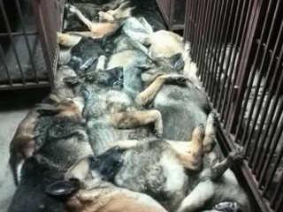 Dezenas de cães explorados para farejar bombas foram 'mortos por companhia petrolífera'