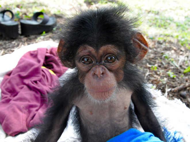 Os chimpanzés de laboratório da Libéria têm esperança, um ano após o abandono pelo Centro de Sangue de New York