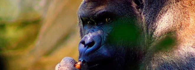 Gorila morre de ataque cardíaco após ser sedado em zoológico do México