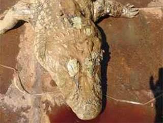 Cientistas investigam motivo da morte do maior jacaré da Pampulha, MG