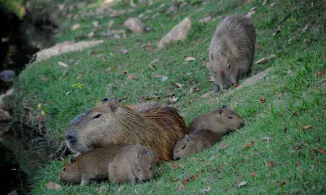 Morte de capivara traz de volta discussão sobre animais na Pampulha em Belo Horizonte, MG