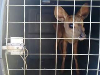 Morador encontra filhote de veado em residência em Bocaiuva, MG