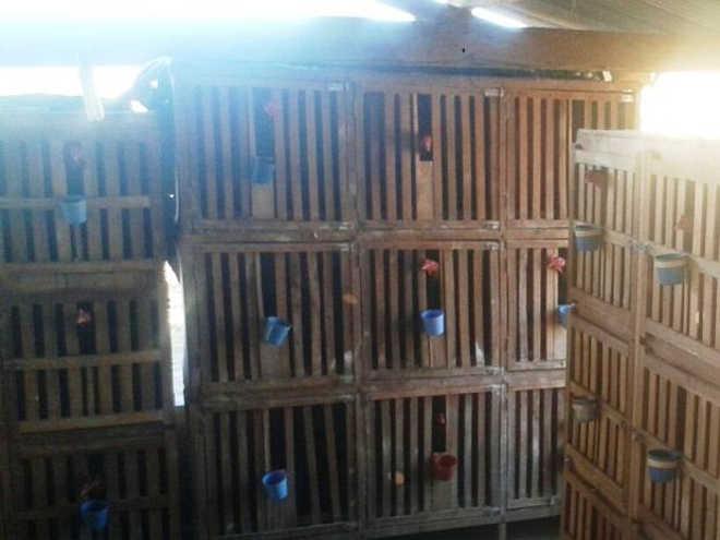 Treze pessoas são detidas e 89 galos apreendidos durante rinha em Juvenília, MG
