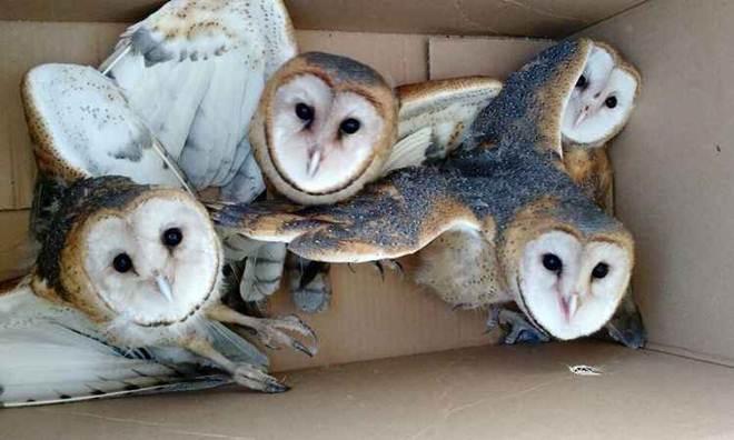 Polícia ambiental solta corujas capturadas na área urbana de Uberlândia, MG