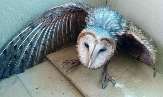 Polícia ambiental resgata coruja ferida e desnutrida em Uberlândia, MG