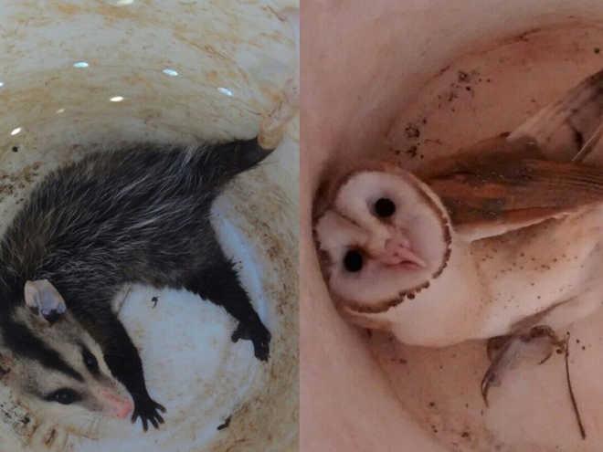 Polícia de Meio Ambiente resgata coruja e gambá em Uberlândia, MG