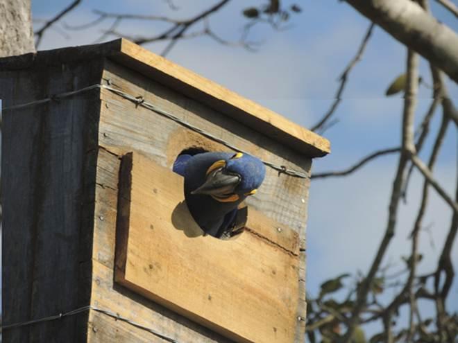Águas Guariroba e Instituto Arara Azul instalam 10 ninhos em estação de Campo Grande, MS