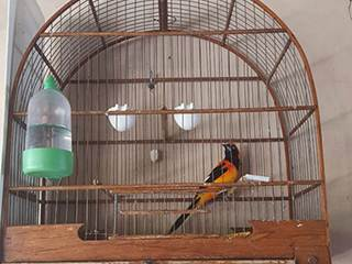 Ambiental multa criador em R$ 3,5 mil por manter pássaros em cativeiro