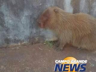 Internauta encontra capivara ferida em parque e animal é levado para o Cras