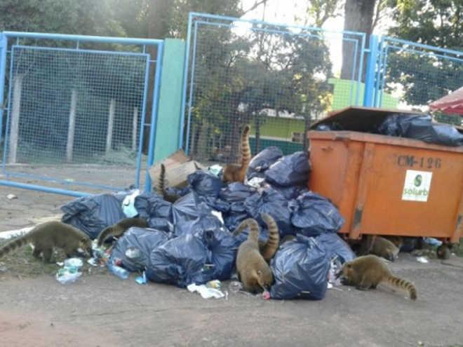 Quatis são flagrados revirando lixo no Parque dos Poderes, em Campo Grande, MS