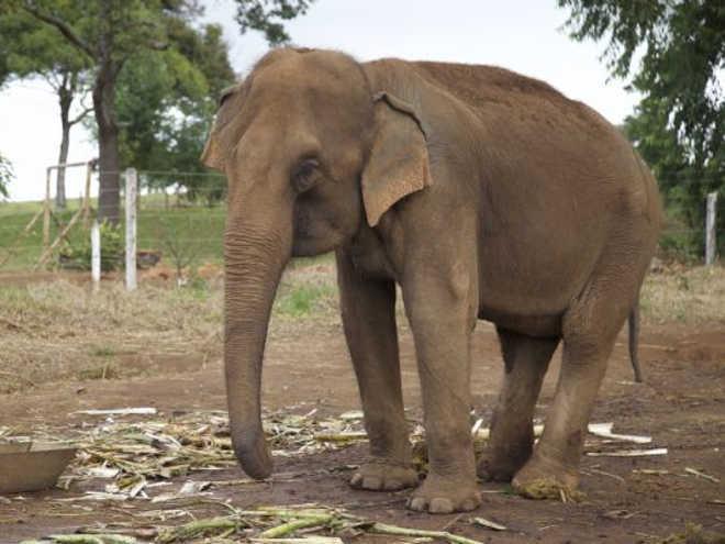 Primeiros elefantes do Santuário de Chapada chegam em setembro; animais viviam acorrentados em propriedade rural
