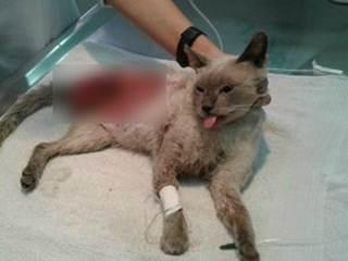 Campanha arrecada dinheiro para cirurgia de gato atropelado em MT