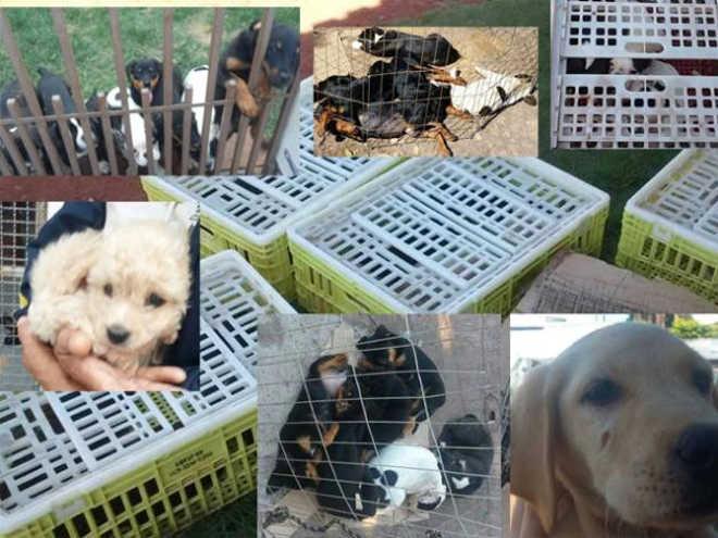 Comissão de Direitos dos Animais em Jaciara (MT) consegue vitória inédita e salva 23 filhotes
