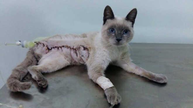 Depois de ser resgatado sem perna, gato passou por cirurgia com ajuda de doações e tem um novo lar