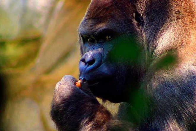 México: Suspenso o diretor do zoológico de Chapultepec após morte de Bantu
