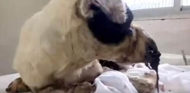 Protetora pede ajuda nas redes sociais para salvar cão vítima de maus-tratos