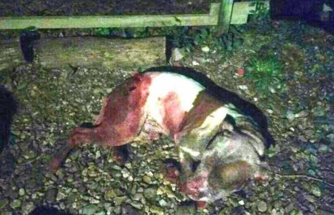 Com sinais de embriaguez, homem tem ataque de fúria e esfaqueia cachorro em Araucária, PR