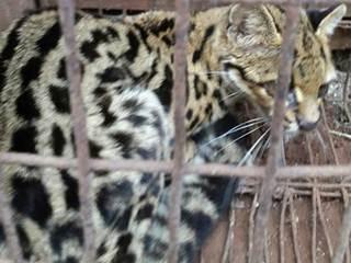 'Parecia onça': Morador de chácara encontra gato maracajá em galinheiro em Califórnia, PR