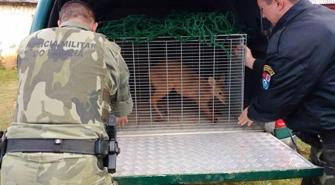 Polícia Ambiental captura veado ferido em localidade rural no Paraná