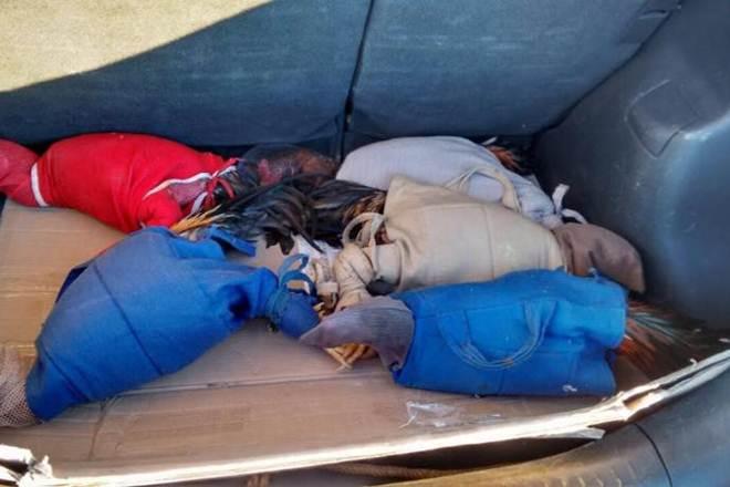 Galos de briga que seriam levados ao Paraguai são achados em porta-malas de carro