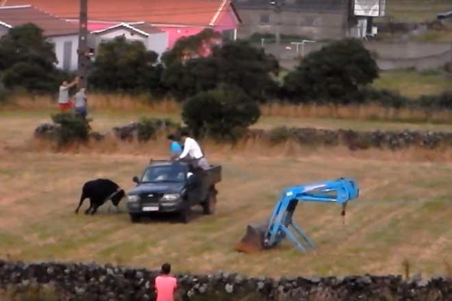 PAN já denunciou atropelamento intencional de touro em festa dos Açores