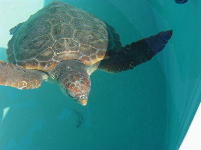 Portugal: Tartarugas vão ser devolvidas ao habitat após meses de recuperação
