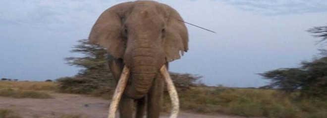 Elefante procura ajuda humana após receber flechada na cabeça