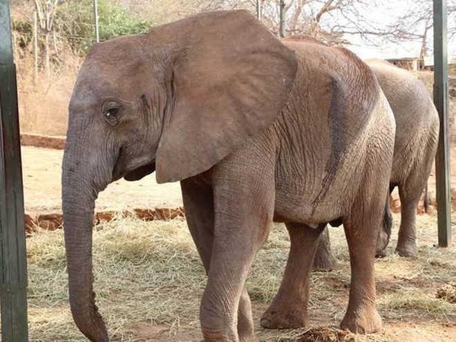 Elefante espera ao lado da amiga envenenada até que ela conseguisse se levantar