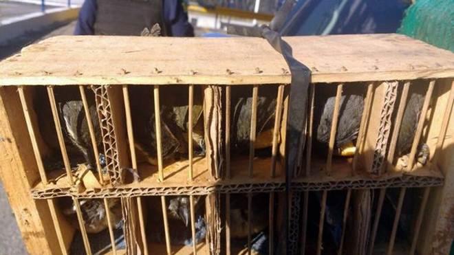 PRF prende dois homens na Dutra por tráfico de animais silvestres