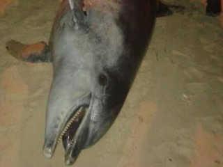 Golfinho morto é encontrado na praia de Itaipu, em Niterói, RJ