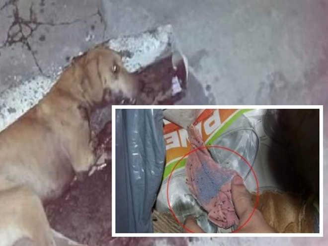 Cachorros morrem envenenados em São Fidélis (RJ); moradora é suspeita