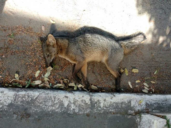 Cachorro-do-mato é encontrado morto em Volta Redonda, RJ