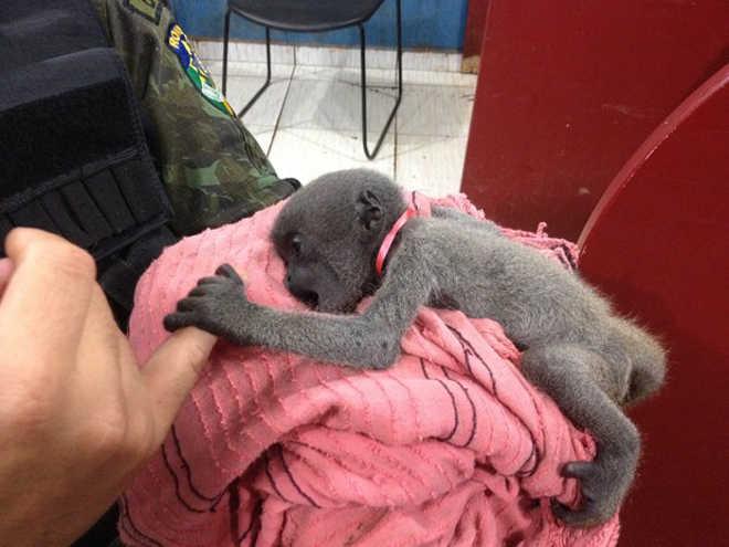 Macaco em extinção é achado acorrentado dentro de casa em Porto Velho, RO