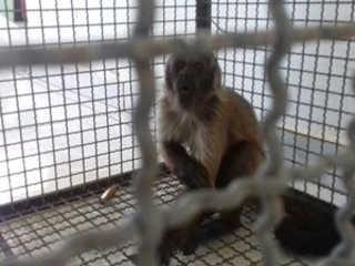 Macaco-prego é achado acorrentado dentro de cativeiro em Vilhena, RO