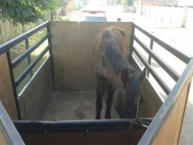 Cavalo é resgatado com sinais de maus-tratos após denúncia, em Gravataí, RS