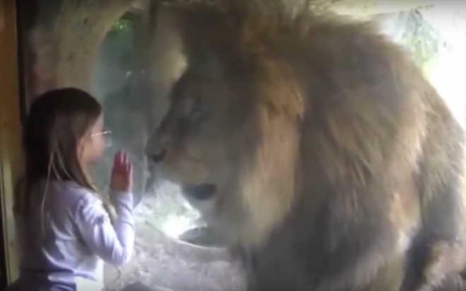 A reação de um leão ao beijo de uma garotinha mostra o quanto o rei da selva não pertence a um zoológico